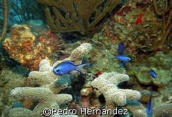 Blue Chromis,Palmas Del Mar Humacao,Puerto Rico,Camera DC310 by Pedro Hernandez