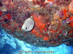 Foureye Butterflyfish,Palmas Del mar Humacao, Puerto Rico... by Pedro Hernandez