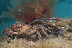 Velvet swimming crabs. Trefor pier. North Wales.