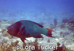 Giant Parrotfish. This guy was huge, probably 3 feet long. by Lora Tucker