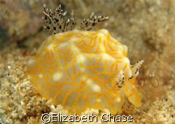 nudibranch off waikiki.  anyone know what kind it is by c... by Elizabeth Chase