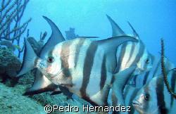 Atlantic Spadefish,Palmas Del Mar Humacao, Puerto Rico by Pedro Hernandez
