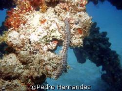 Bearded Fireworm,Palmas Del mar Humacao. puerto rico by Pedro Hernandez