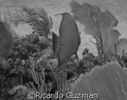 Angelfish blowing me off at La Parguera.  Does this one w... by Ricardo Guzman