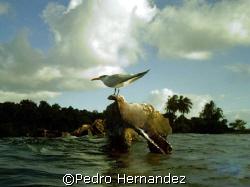 Sea Gull in Monkey Island Naguabo, Puerto Rico by Pedro Hernandez