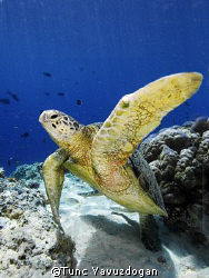 Turtle at Sipadan Island,  well...actualy one of 20 to 30... by Tunc Yavuzdogan