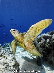 Turtle at Sipadan Island,  well...actualy one of 20 to 30... by Tunc Yavuzdogan