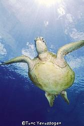 Turtle again by Tunc Yavuzdogan