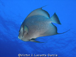 gray angel fish in the black wall dive site at parguera wall by Victor J. Lasanta Garcia