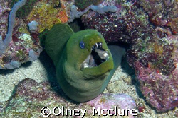 Green Moray, Just breathing by Olney Mcclure