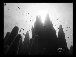Pillar Coral. Top Secret, Grand Cayman  by Neil Van Niekerk