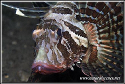 Portrait of a not very common lion fish it is actually ca... by Yves Antoniazzo