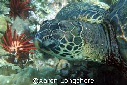 Honu, near shore reef Maui. 350d no strobe. by Aaron Longshore