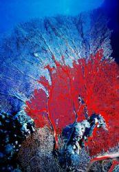 gorgonia by Sergio Loppel