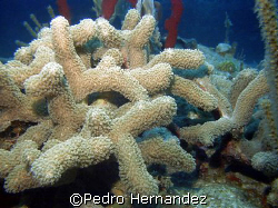 Finger Coral,Humacao, Puerto Rico by Pedro Hernandez
