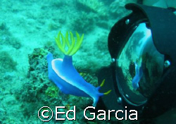 A fairly large Nudibranch about 4 inches long, seemingly ... by Ed Garcia
