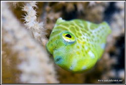 I'm still looking for pigmy'(s) on that dive and again fo... by Yves Antoniazzo