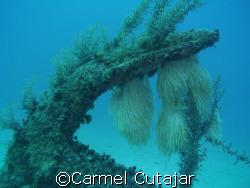 Squid eggs with anchor by Carmel Cutajar