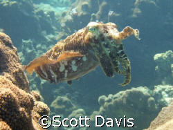 Cuttle fish posing in shallow water, beautiful suject in ... by Scott Davis