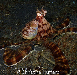 Mimic octopus, mimicking an octopus by Christine Huffard