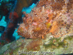 Scorpionfish on the wreck of the Beaufighter, Malta. by Heather Dugmore