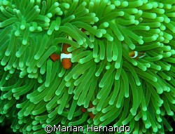 Nemos- Bunaken, North Sulawesi, Indonesia by Marian Hernando