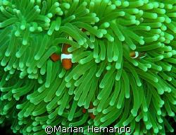 Nemos- Bunaken, North Sulawesi, Indonesia by Marian Hernando