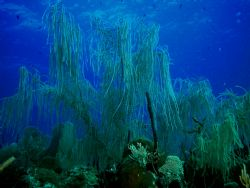 Deep Blue Willow, Key Largo, Nikon CP5000 by Ken Dean
