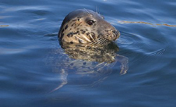 Male Gray Seal, Nikon D70 with 28-100mm zoom at 100mm. I... by Mike Clark
