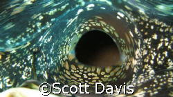 Inside a clam, this was a close as I could get before it ... by Scott Davis