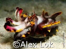 Flambouyant Cutterfish by Alex Lok