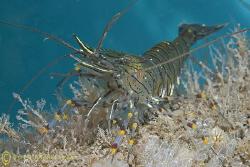 Common prawn. North Wales. D200, 60mm. by Derek Haslam