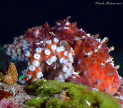 Octopus from Similan Islands taken with Fuji E900 + CU le... by Patrick Neumann