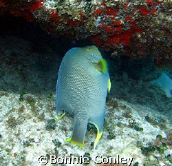 Queen Angelfish seen April 2007 in Isla Mujeres.  Photo t... by Bonnie Conley