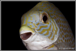 Close of a rabit fish D200/105 by Yves Antoniazzo