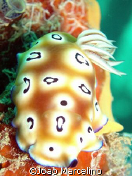 A beautiful Chromodoris leopardus nudibranch at Mabul mid... by Joao Marcelino
