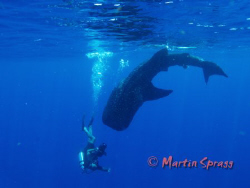 Whaleshark and diver in action by Martin Spragg