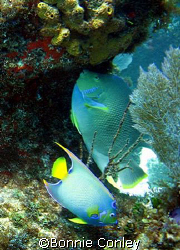 Pair of Queen Angels seen April 2007 in Isla Mujerers.  P... by Bonnie Conley