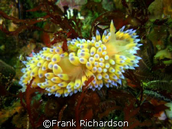 Psychedelic nudibranch?