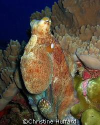 Octopus cyanea by Christine Huffard