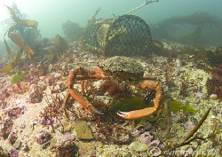 Spider Crab &  Lobster Pot.