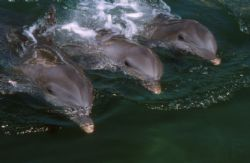 Dolphins, Puerto Aventuras, Mexico, F90X and 20mm lens by David Stephens