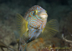 Corkwing wrasse. Trefor pier. North Wales. D200, 60mm. by Derek Haslam