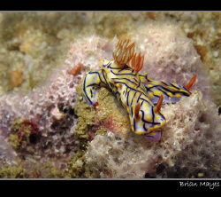 A couple of Hypselodoris nigrostriata feeding on sponge by Brian Mayes
