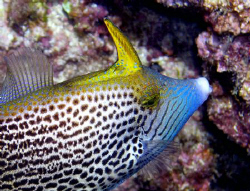 Fantail Filefish taken at Sharks Cove Oahu Hawaii. by Rob Van Orden