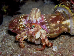 Jeweled Anemone Crab taken at Three Tables Oahu Hawaii. by Rob Van Orden