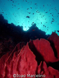 Beautiful reef landscape with baril sponge on first plan. by Joao Marcelino