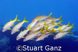 School of goat fish swimming taken at Sharks's cove on Oa... by Stuart Ganz