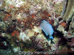 Blue tang, Culebra, Puerto Rico by Pedro Hernandez