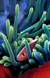 vivid and shy clown fish from the Solomons.Nikon F100 wit... by Fiona Ayerst